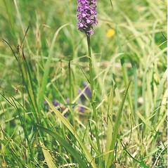 Plant form: Gymnadenia conopsea. ~ By Bryan Hamlin. ~ Copyright © 2019 Bryan Hamlin. ~ bryanthamlin[at]gmail.com