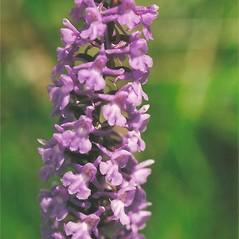 Inflorescences: Gymnadenia conopsea. ~ By Bryan Hamlin. ~ Copyright © 2019 Bryan Hamlin. ~ bryanthamlin[at]gmail.com