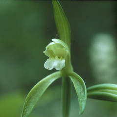 Flowers: Isotria medeoloides. ~ By Carol Fyler. ~ Copyright © 2018 New England Wild Flower Society. ~ Image Request, images[at]newenglandwild.org