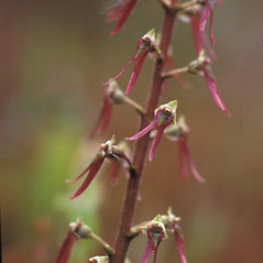 Flowers: Neottia bifolia. ~ By David Stone. ~ Copyright © 2018 New England Wild Flower Society. ~ Image Request, images[at]newenglandwild.org