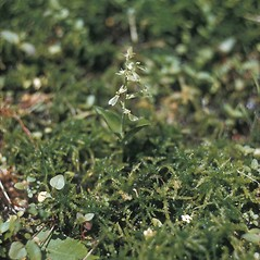 Plant form: Neottia convallarioides. ~ By Lawrence Newcomb. ~ Copyright © 2017 New England Wild Flower Society. ~ Image Request, images[at]newenglandwild.org