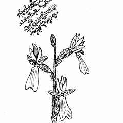 Inflorescences: Neottia convallarioides. ~ By Gordon Morrison. ~ Copyright © 2017 New England Wild Flower Society. ~ Image Request, images[at]newenglandwild.org