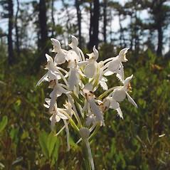 Flowers: Platanthera blephariglottis. ~ By Arthur Haines. ~ Copyright © 2018. ~ arthurhaines[at]wildblue.net