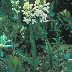Plant form: Platanthera blephariglottis. ~ By William Larkin. ~ Copyright © 2018 New England Wild Flower Society. ~ Image Request, images[at]newenglandwild.org