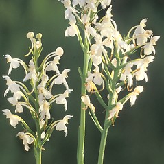 Inflorescences: Platanthera blephariglottis. ~ By Albert Bussewitz. ~ Copyright © 2018 New England Wild Flower Society. ~ Image Request, images[at]newenglandwild.org