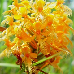 Flowers: Platanthera ciliaris. ~ By Arthur Haines. ~ Copyright © 2018. ~ arthurhaines[at]wildblue.net