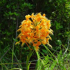 Inflorescences: Platanthera ciliaris. ~ By Arthur Haines. ~ Copyright © 2019. ~ arthurhaines[at]wildblue.net