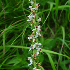 Inflorescences: Platanthera dilatata. ~ By Arthur Haines. ~ Copyright © 2017. ~ arthurhaines[at]wildblue.net
