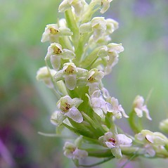 Flowers: Platanthera flava. ~ By Arthur Haines. ~ Copyright © 2018. ~ arthurhaines[at]wildblue.net