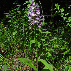 Plant form: Platanthera grandiflora. ~ By Arthur Haines. ~ Copyright © 2018. ~ arthurhaines[at]wildblue.net