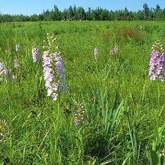 Plant form: Platanthera grandiflora. ~ By Donna Kausen. ~ Copyright © 2018 Donna Kausen. ~ 33 Bears Den, Addison, ME 04606