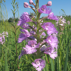 Inflorescences: Platanthera grandiflora. ~ By Marilee Lovit. ~ Copyright © 2018 Marilee Lovit. ~ lovitm[at]gmail.com