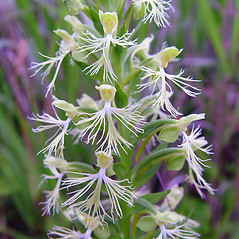 Flowers: Platanthera lacera. ~ By Arthur Haines. ~ Copyright © 2020. ~ arthurhaines[at]wildblue.net