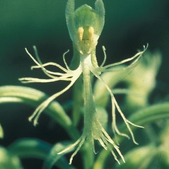 Flowers: Platanthera lacera. ~ By John Lynch. ~ Copyright © 2019 New England Wild Flower Society. ~ Image Request, images[at]newenglandwild.org