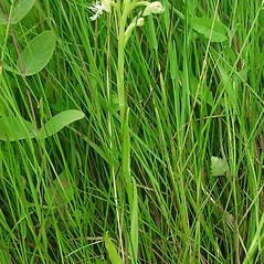 Plant form: Platanthera lacera. ~ By Glen Mittelhauser. ~ Copyright © 2020 Glen Mittelhauser. ~ www.mainenaturalhistory.org