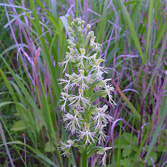 Inflorescences: Platanthera lacera. ~ By Arthur Haines. ~ Copyright © 2019. ~ arthurhaines[at]wildblue.net