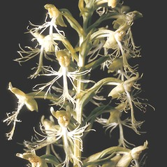 Inflorescences: Platanthera lacera. ~ By Adelaide Pratt. ~ Copyright © 2018 New England Wild Flower Society. ~ Image Request, images[at]newenglandwild.org