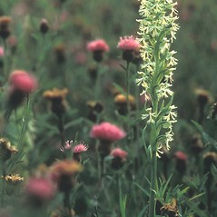 Inflorescences: Platanthera lacera. ~ By William Larkin. ~ Copyright © 2019 New England Wild Flower Society. ~ Image Request, images[at]newenglandwild.org