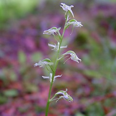 Flowers: Platanthera obtusata. ~ By Arthur Haines. ~ Copyright © 2019. ~ arthurhaines[at]wildblue.net