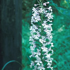 Inflorescences: Platanthera psycodes. ~ By Frank Bramley. ~ Copyright © 2020 New England Wild Flower Society. ~ Image Request, images[at]newenglandwild.org