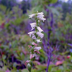 Inflorescences: Spiranthes casei. ~ By Arthur Haines. ~ Copyright © 2020. ~ arthurhaines[at]wildblue.net