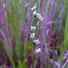 Flowers: Spiranthes lacera. ~ By Arthur Haines. ~ Copyright © 2018. ~ arthurhaines[at]wildblue.net