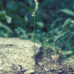 Plant form: Spiranthes lacera. ~ By Lawrence Newcomb. ~ Copyright © 2019 New England Wild Flower Society. ~ Image Request, images[at]newenglandwild.org
