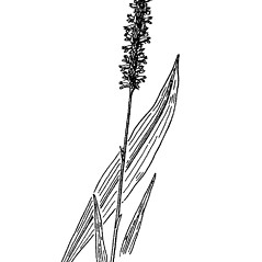 Leaves: Spiranthes lucida. ~ By West Virgina University Press. ~ Copyright © 2019 West Virgina University Press. ~ Carrie Mullen, carrie.mullen[at]mail.wva.edu ~ P.D. Strasbaugh and Earl L. Core, Flora of West Virginia. 1970. West Virginia U. Press, Morgantown, WV