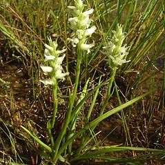 Plant form: Spiranthes romanzoffiana. ~ By Glen Mittelhauser. ~ Copyright © 2018 Glen Mittelhauser. ~ www.mainenaturalhistory.org