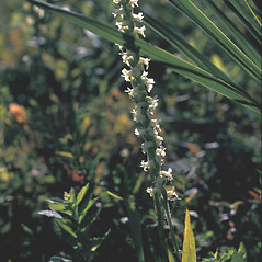 Inflorescences: Spiranthes romanzoffiana. ~ By Frank Bramley. ~ Copyright © 2019 New England Wild Flower Society. ~ Image Request, images[at]newenglandwild.org