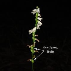 Fruits: Spiranthes tuberosa. ~ By Bobby Hattaway. ~ Copyright © 2019 Dr. Robert A. Hattaway. ~ botanikman[at]g-net.net ~ Discover Life - www.discoverlife.org