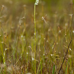 Plant form: Spiranthes vernalis. ~ By Keith Bradley. ~ Copyright © 2018 Keith Bradley. ~ Requests for image use not currently accepted by copyright holder ~ Atlas of Florida Vascular Plants - florida.plantatlas.usf.edu/Default.aspx