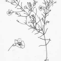 Plant form: Agalinis acuta. ~ By Tess Feltes. ~  Public Domain. ~  ~ U. of New Hampshire