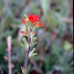 Flowers: Castilleja coccinea. ~ By Carol Levine. ~ Copyright © 2020 Carol Levine. ~ carolflora[at]optonline.net