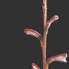 Stems: Epifagus virginiana. ~ By Frank Bramley. ~ Copyright © 2017 New England Wild Flower Society. ~ Image Request, images[at]newenglandwild.org