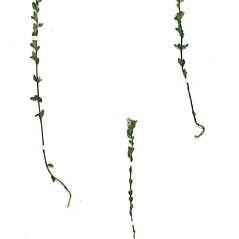 Plant form: Euphrasia micrantha. ~ By Botanic Garden and Botanical Museum Berlin-Dahlem. ~ Copyright © 2019 CC BY-SA. ~  ~ Botanic Garden and Botanical Museum Berlin-Dahlem - ww2.bgbm.org/Herbarium/default.cfm