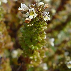 Flowers: Euphrasia randii. ~ By Arthur Haines. ~ Copyright © 2020. ~ arthurhaines[at]wildblue.net