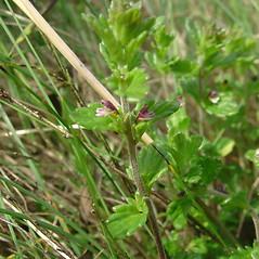 Plant form: Euphrasia randii. ~ By Glen Mittelhauser. ~ Copyright © 2018 Glen Mittelhauser. ~ www.mainenaturalhistory.org
