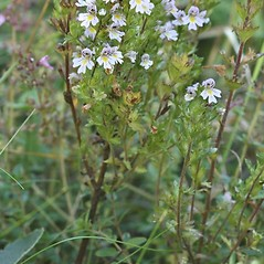 Plant form: Euphrasia stricta. ~ By Arieh Tal. ~ Copyright © 2018 Arieh Tal. ~ http://botphoto.com/ ~ Arieh Tal - botphoto.com