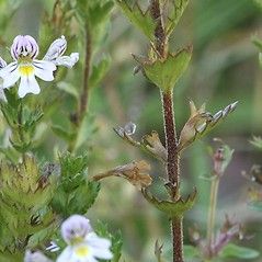 Stems: Euphrasia stricta. ~ By Arieh Tal. ~ Copyright © 2018 Arieh Tal. ~ http://botphoto.com/ ~ Arieh Tal - botphoto.com