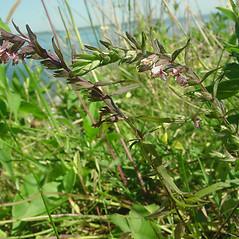 Plant form: Odontites vernus. ~ By Glen Mittelhauser. ~ Copyright © 2017 Glen Mittelhauser. ~ www.mainenaturalhistory.org