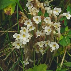 Plant form: Orobanche uniflora. ~ By Glen Mittelhauser. ~ Copyright © 2019 Glen Mittelhauser. ~ www.mainenaturalhistory.org