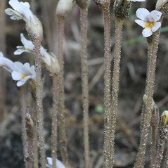 Stems: Orobanche uniflora. ~ By Arieh Tal. ~ Copyright © 2018 Arieh Tal. ~ http://botphoto.com/ ~ Arieh Tal - botphoto.com