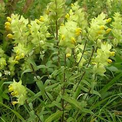 Plant form: Rhinanthus alectorolophus. ~ By Radim Paulic æ. ~ Copyright © 2018 Radim Paulic æ. ~ radim.paulic[at]gmail.com ~ Biolib - www.biolib.cz
