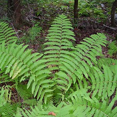 Plant form: Osmunda claytoniana. ~ By Arthur Haines. ~ Copyright © 2020. ~ arthurhaines[at]wildblue.net