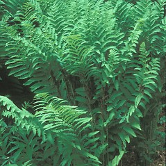 Plant form: Osmunda claytoniana. ~ By Hal Horwitz. ~ Copyright © 2020 New England Wild Flower Society. ~ Image Request, images[at]newenglandwild.org