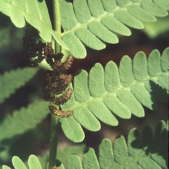 Detail of leaf and/or divisions: Osmunda claytoniana. ~ By Adelaide Pratt. ~ Copyright © 2020 New England Wild Flower Society. ~ Image Request, images[at]newenglandwild.org