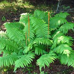 Plant form: Osmundastrum cinnamomeum. ~ By Glen Mittelhauser. ~ Copyright © 2018 Glen Mittelhauser. ~ www.mainenaturalhistory.org