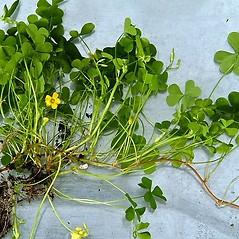 Plant form: Oxalis corniculata. ~ By Paul S. Drobot. ~ Copyright © 2020 Paul S. Drobot. ~ www.plantstogrow.com, www.plantstockphotos.com ~ Robert W. Freckmann Herbarium, U. of Wisconsin-Stevens Point