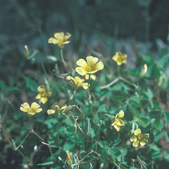 Flowers: Oxalis stricta. ~ By Frank Bramley. ~ Copyright © 2020 New England Wild Flower Society. ~ Image Request, images[at]newenglandwild.org